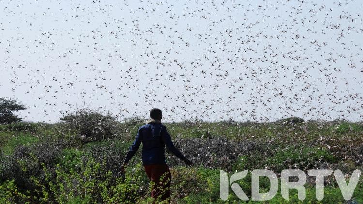 Panic AS Locust Is Spotted In Meru County
